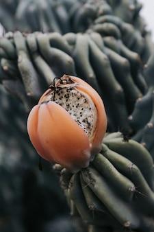 Primer disparo vertical de un fruto de cactus cubierto en una jungla