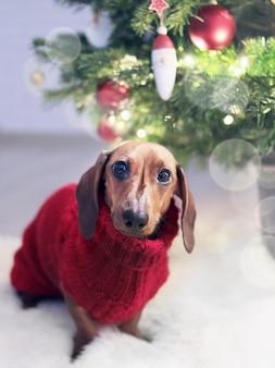 Primer disparo vertical de un perro salchicha de orejas largas en un traje de vacaciones cerca del árbol de navidad