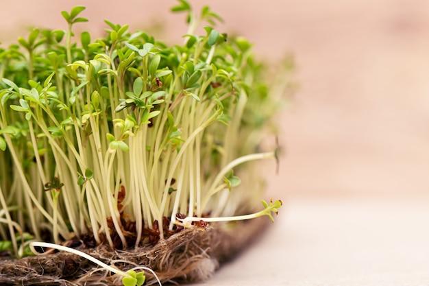 El primer de la ensalada del berro de los granos germinados crece en la estera de lino mojada.