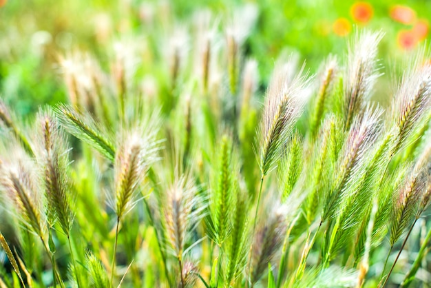 Primer de la espiguilla de la hierba del campo.