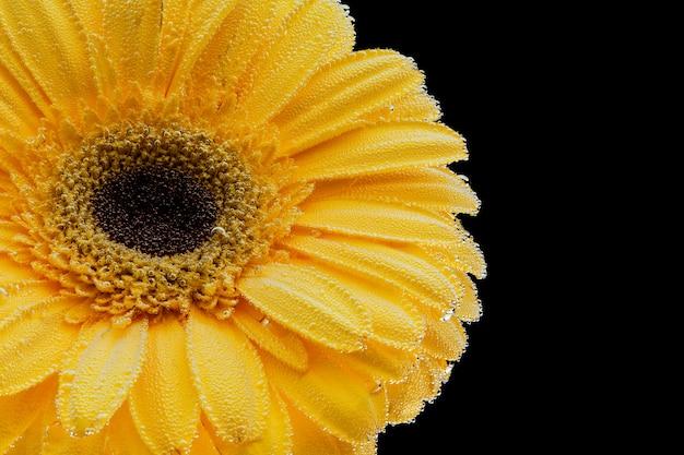 Primer de una flor amarilla fresca cubierta con las gotitas de agua en un fondo aislado negro.