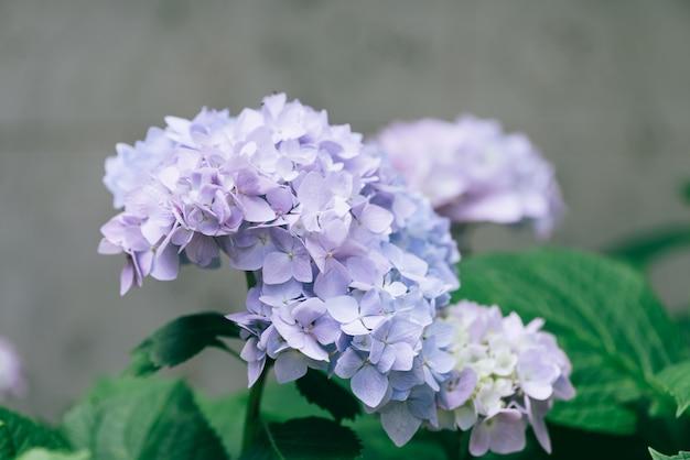 Primer de la flor del hydrangea