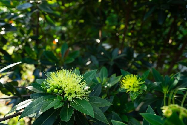Primer de las flores mullidas hermosas del eucalipto en rama. flores amarillas de la gumtree angophora hispida.