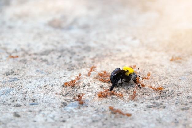 Primer grupo de hormigas están mordiendo y comiendo las avispas en el piso.