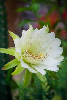 Primer hermoso blanco cereus peruvianus flor en jardín