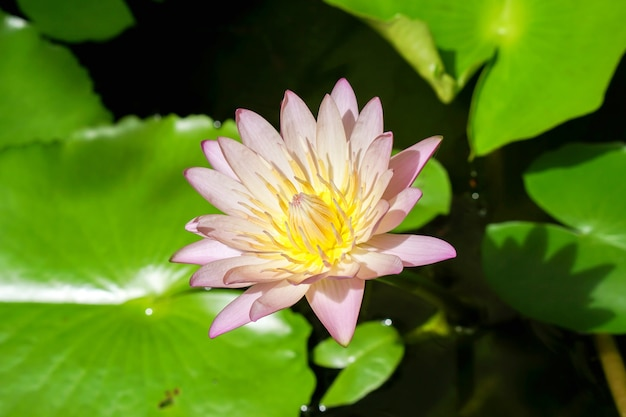 Primer loto violeta en la luz del estanque y el sol