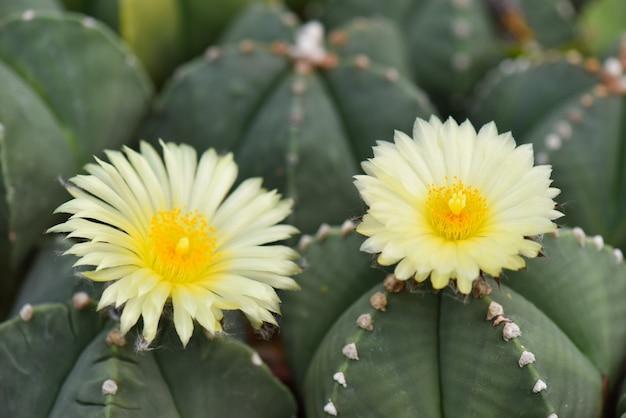 Primer macro de las flores amarillas hermosas del cactus que florecen en el jardín. enfoque selectivo