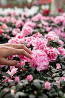Primer mano tocando flor rosa