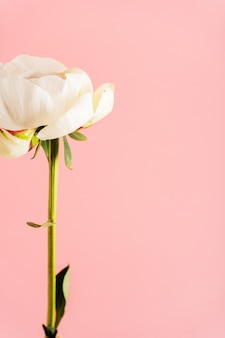 Primer de la peonía en fondo rosado con el espacio. tarjetas de diseño para boda, día de la madre, 8 de marzo, día de san valentín.