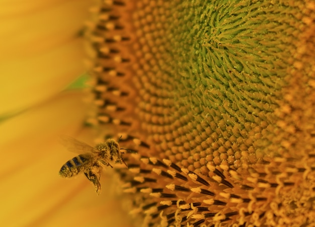 Primer plano de una abeja en un hermoso girasol bajo la luz del sol