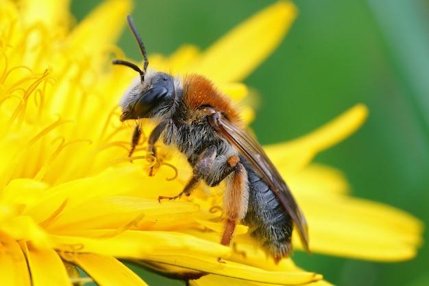 Primer plano de una abeja minera de cola naranja sobre una flor de diente de león