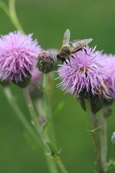 Primer plano de una abeja en una planta de cardo