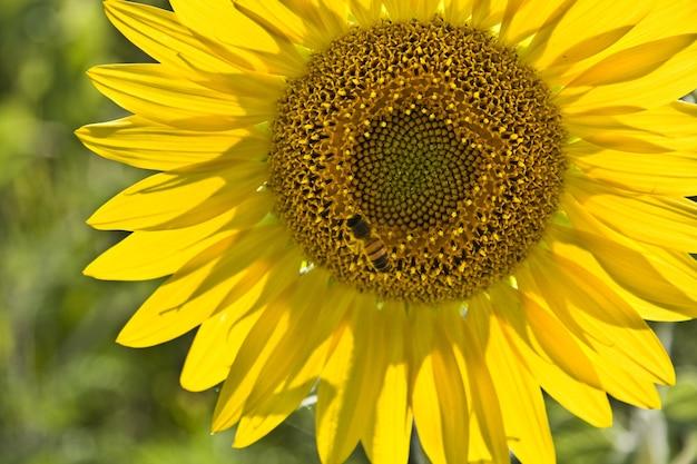 Primer plano de una abeja sobre un girasol en un campo bajo la luz del sol