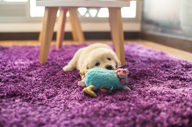 Primer plano de un adorable cachorro de golden retriever pequeño acostado sobre una alfombra púrpura con un juguete azul