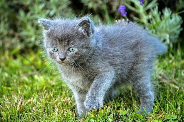 Primer plano de un adorable gatito gris de raza británica de pelo largo en la hierba