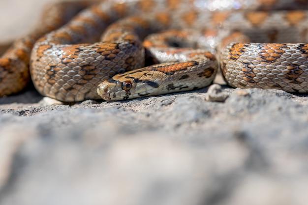 Primer plano de un adulto acurrucado o serpiente leopardo europea ratsnake, zamenis situla, en malta