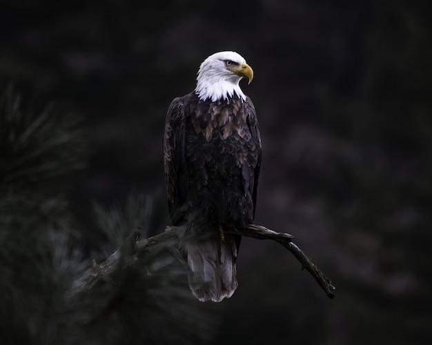 Primer plano de águila calva en la rama de un árbol en busca de su presa