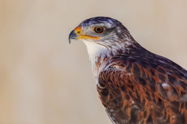 Primer plano de águila de pico azul (aquila fasciata) adulto. anillo para cetrería.