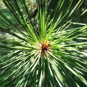 Primer plano de agujas de pino como fondo abstracto, un interesante fondo natural