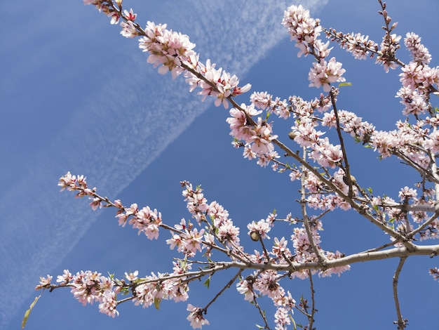 Primer plano de ángulo bajo de los cerezos en flor bajo la luz del sol y un cielo azul