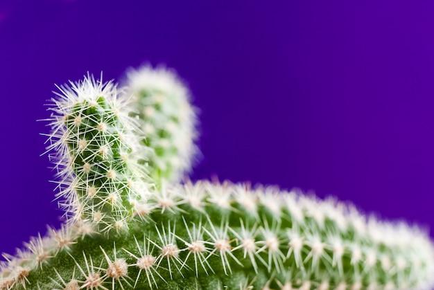 Primer plano aporocactus verde sobre fondo violeta de moda con espacio de copia.