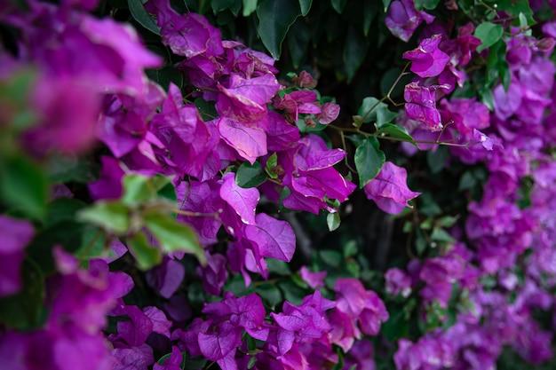 Primer plano de un arbusto abigarrado con hojas de color lila. plantas exóticas de egipto.