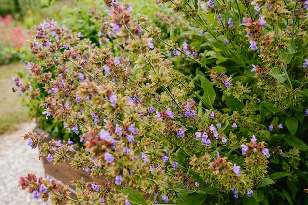 Primer plano de arbusto de flores de salvia