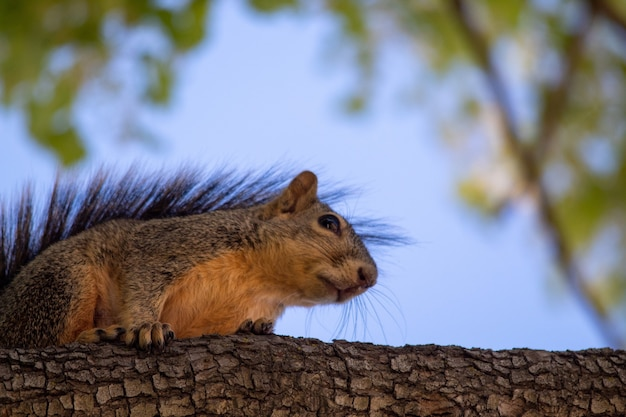 Primer plano de una ardilla zorro en una rama