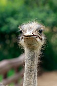Primer plano de avestruz sobre oscuro