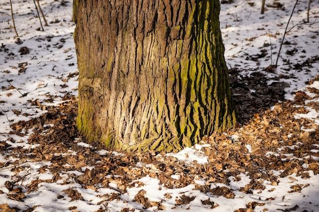 Primer plano de la base de un árbol rodeado de hojas caídas y nieve