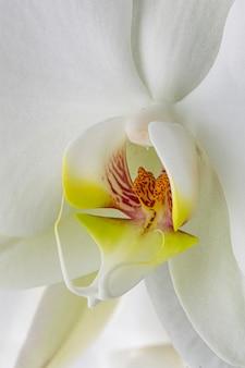 Primer plano, de, blanco, orquídea
