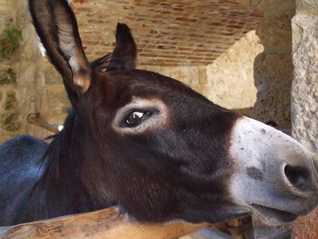Primer plano de un burro marrón oscuro en una jaula de madera