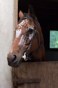 Primer plano de un caballo marrón con dibujos en blanco sobre su cabeza