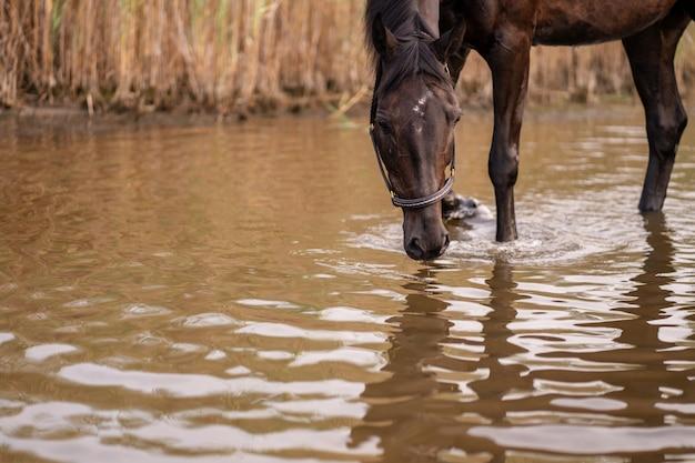 Primer plano de un caballo oscuro bebe agua de un lago. paseo a caballo