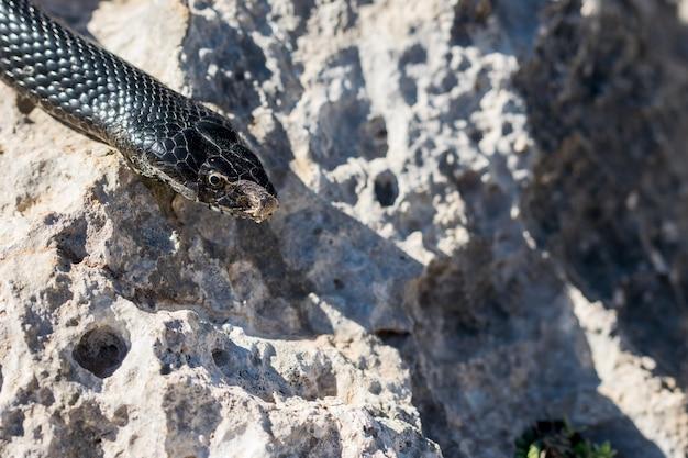 Primer plano de la cabeza de un adulto black western whip snake, hierophis viridiflavus, en malta