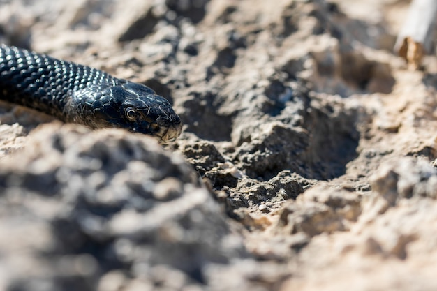 Primer plano de la cabeza de un adulto black western whip snake