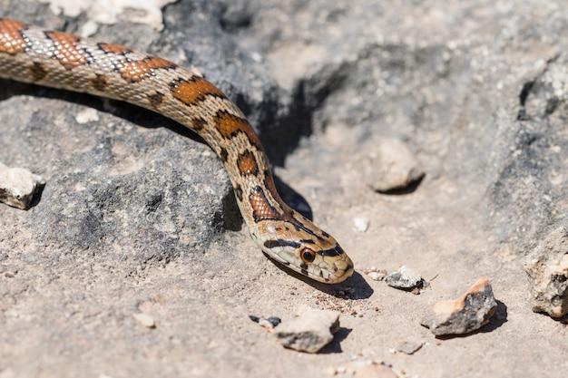 Primer plano de la cabeza de un adulto o serpiente leopardo europea ratsnake, zamenis situla, en malta