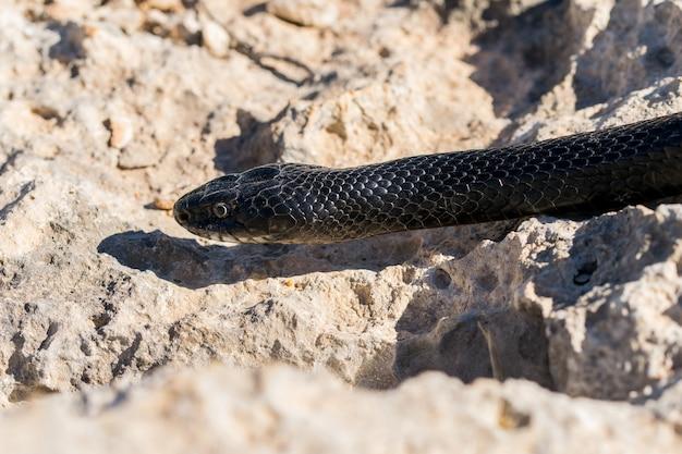 Primer plano de la cabeza de un adulto western whip snake