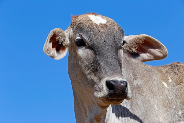 Primer plano de cabeza bovina bajo cielo azul