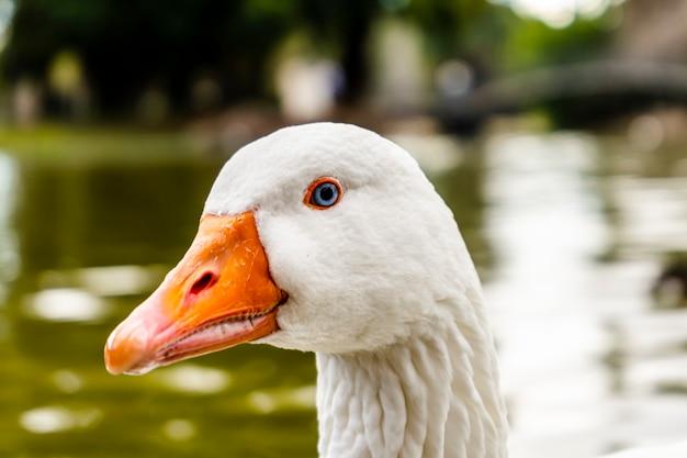 Primer plano de la cabeza de un ganso blanco. animal de granja.