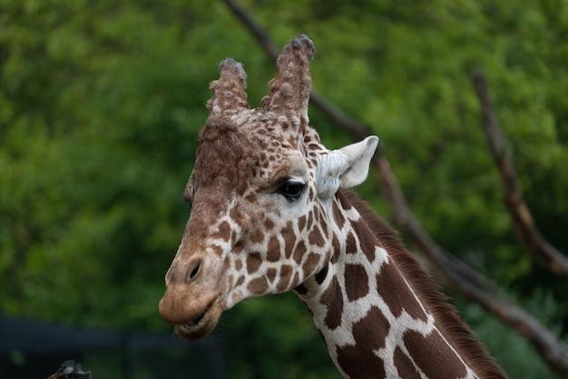 Primer plano de una cabeza una jirafa de pie detrás de los árboles