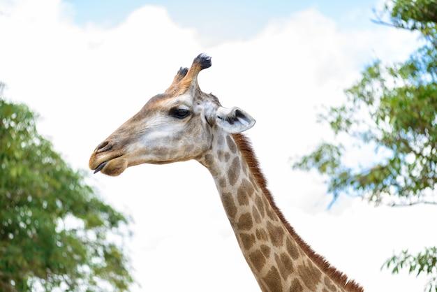 Primer plano de cabeza de jirafa