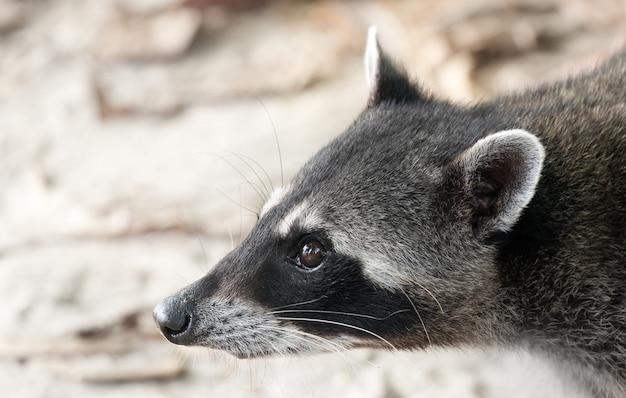 Primer plano de la cabeza de un mapache en costa rica