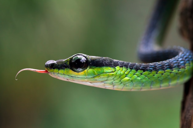 Primer plano de la cabeza de la serpiente dendrelaphis formosus