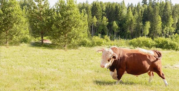Primer plano de cabeza de toro en el fondo de un prado y bosque de verano verde, concepto de producto lácteo.