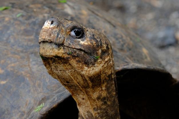 Primer plano de una cabeza de tortuga mordedora mirando a la cámara con fondo borroso
