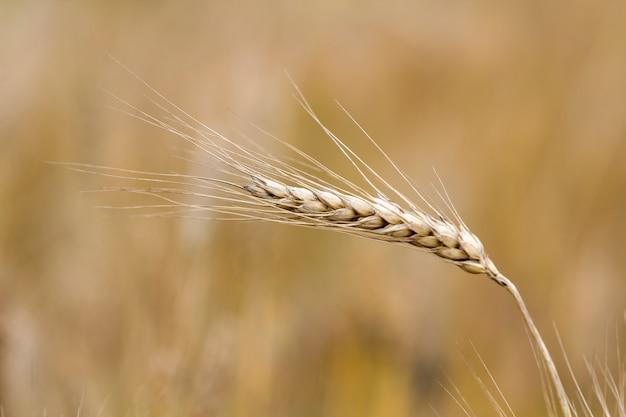 Primer plano de la cabeza de trigo enfocado maduro amarillo dorado dorado cálido en un día soleado de verano en campo de trigo suave prado borroso brumoso marrón claro