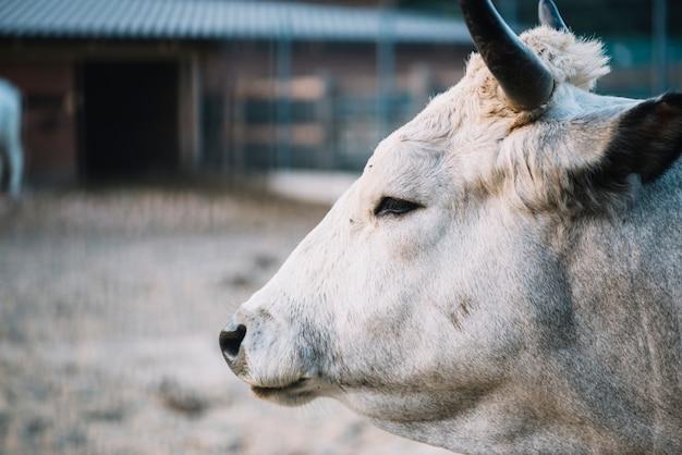 Primer plano de la cabeza de vaca