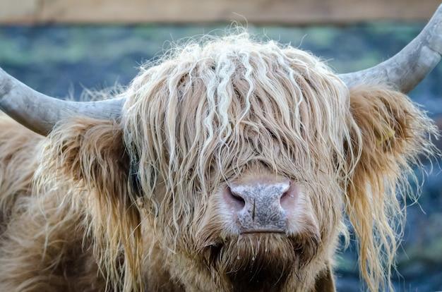 Primer plano de la cabeza de un yak peludo