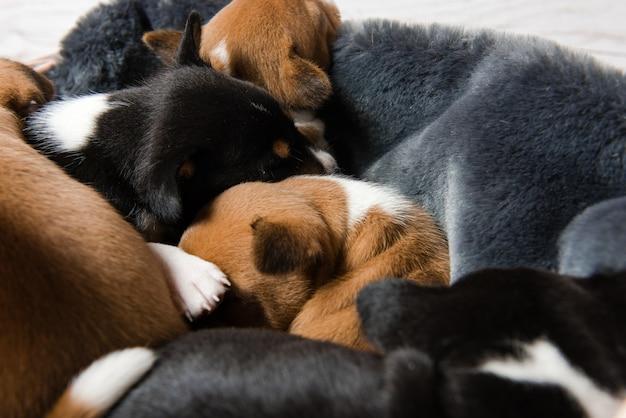 Primer plano de cabezas de cachorros basenji para dormir